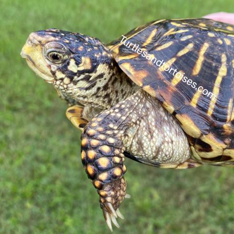 Ornate Box Turtles (Terrapene ornata ornata) Female