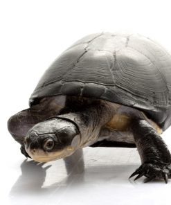 Black Bellied Mud Turtles (Pelusios chapini)