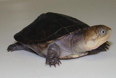 Black Bellied Mud Turtles (Pelusios chapini)
