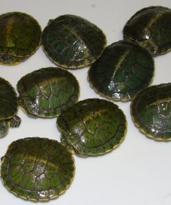 Red Ear Sliders (Trachemys scripta elegans)
