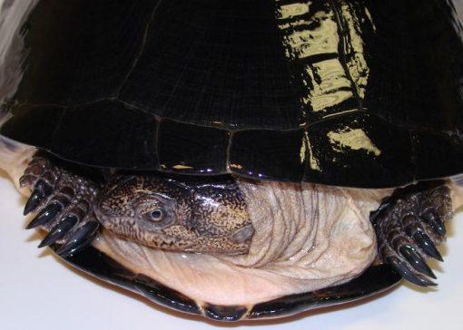 African Keeled Mud Turtle (Pelusios carinatus)