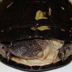 West African Sideneck Turtles (Pelusios castaneus)