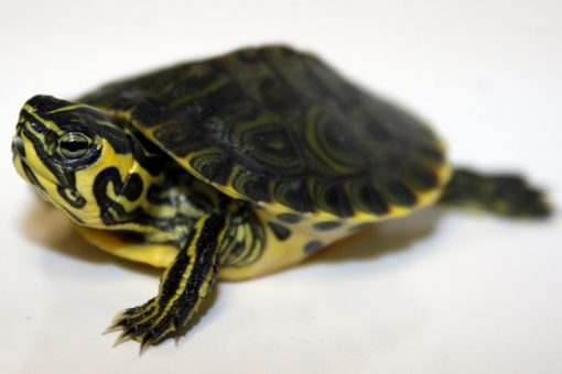 Yellow Belly Sliders (Trachemys scripta scripta)
