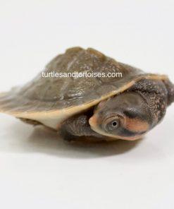 North Western Red-Faced Short Neck Turtle (Emydura australis)