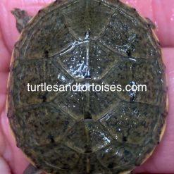 Yellow Mud Turtles (Kinosternon flavescens) CB 2020