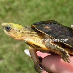 Yellow Headed Box Turtles (Cuora aurocapitata)