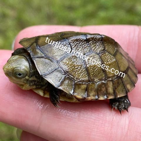 Okinawa Yellow Pond Turtles (Mauremys mutica kami)