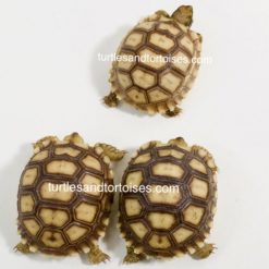 Mali Sulcata Tortoise / African Spurred Tortoises (Centrochelys sulcata)