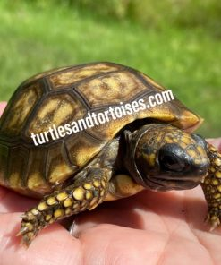 Yellow Foot Tortoises (Chelonoidis denticulata) CB 2020