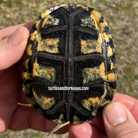Pan's Box Turtles (Cuora pani)