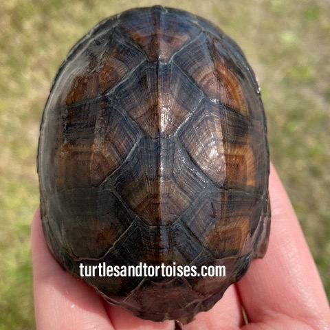 Red Cheek Mud Turtles (Kinosternon scorpioides cruentatum)