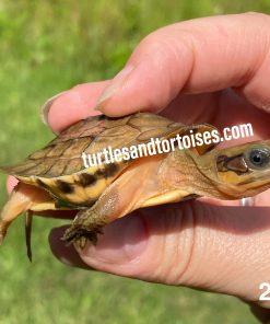 Annamite or Central Vietnamese Three-Striped Box Turtle (Cuora cyclornata annamitica)