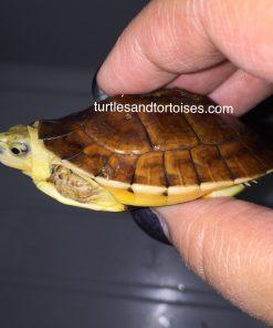 McCords Box Turtles (Cuora Mccordi)