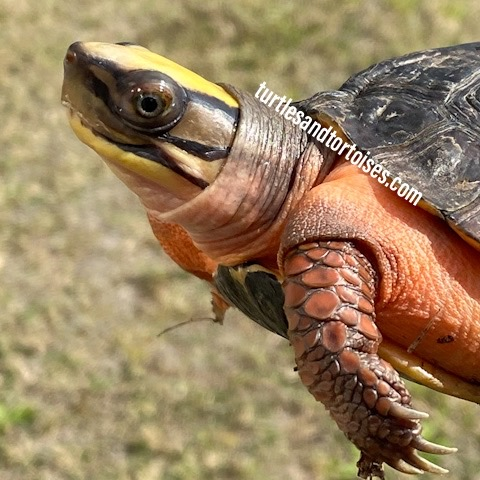 Chinese Three Lined Box Turtles (Cuora trifasciata)