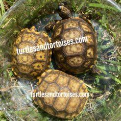 Yellow Foot Tortoises (Chelonoidis denticulata) CB 2020