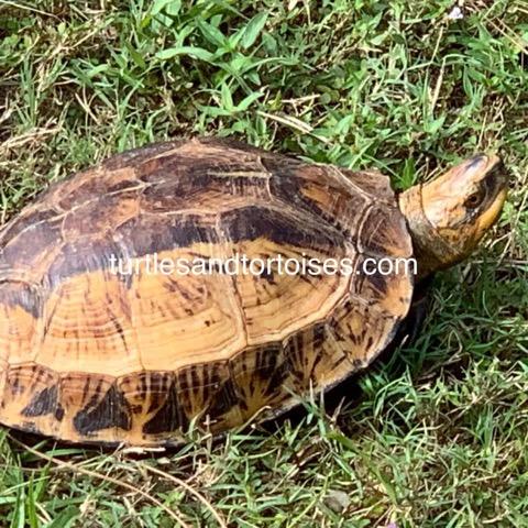 Flowerback Box Turtle (Cuora galbinifrons)
