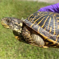 Ornate Box Turtles (Terrapene ornata ornata)