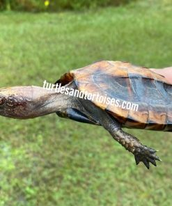 Southern Keeled Box Turtle (Cuora mouhotii obsti)