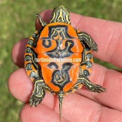 Northern Red-Bellied Turtle (Pseudemys rubriventris)