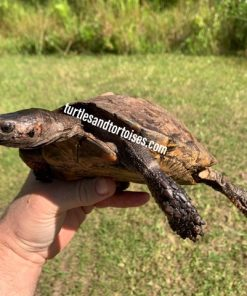 Spiny Hill Turtle (Heosemys spinosa)