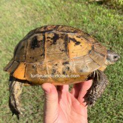 Turkish Greek tortoise (Testudo graeca ibera)