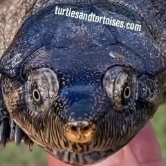 Madagascar Big Headed Turtle (Erymnochelys madagascariensis)