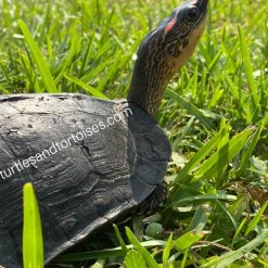 Spot Legged Wood Turtles (Rhinoclemmys punctularia)