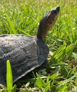 Spot Legged Wood Turtles (Rhinoclemmys punctularia)