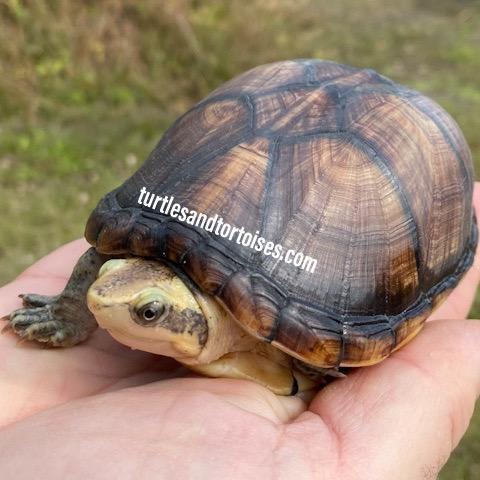 White Lipped Mud Turtle (Kinosternon leucostomum)