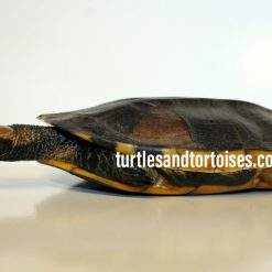 Northern Twist Neck Turtles (Platemys platycephala)