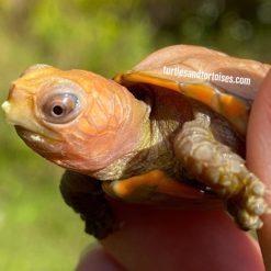 Chinese Keeled Box Turtle (Cuora mouhotii mouhotii) CB 2020