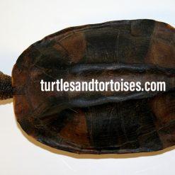 Northern Twist Neck Turtles (Platemys platycephala)