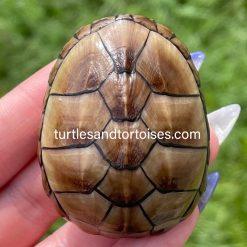 Mississippi Mud Turtles (Kinosternon subrubrum hippocrepis)