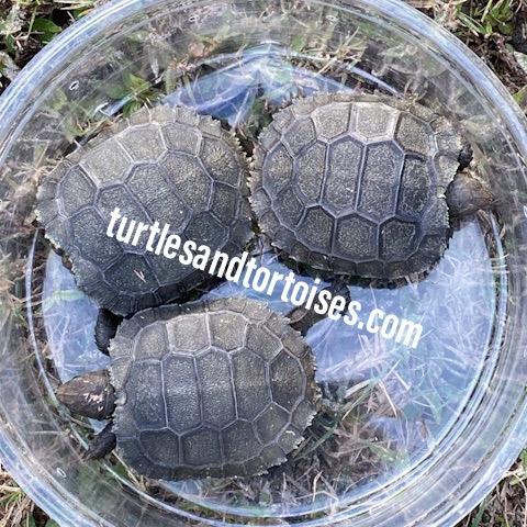 Burmese Brown Tortoises (Manouria emys emys)