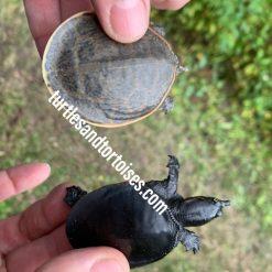Melanistic Florida Softshell Turtles (Apalone ferox)