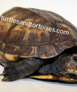 South American Scorpion Mud Turtles (Kinosternon scorpoides ssp.)