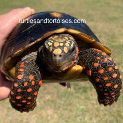 Northern Red Foot Tortoise (Chelonoidis carbonara)