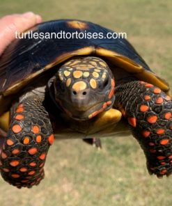 Northern Red Foot Tortoise (Chelonoidis carbonara)