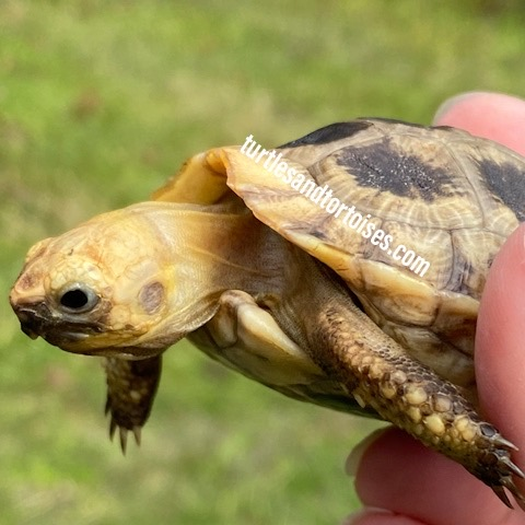 Elongated Tortoises (Indotestudo elongata)