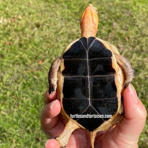 Chinese Yellow Margined Box Turtles (Cuora flavomarginata)
