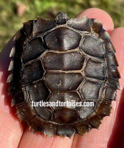 Home's Hingeback Tortoises (Kinixys homeana)