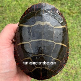 Eastern Painted Turtles (Chrysemys picta picta)