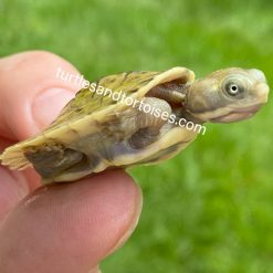 Murray River Turtle (Emydura macquarii)