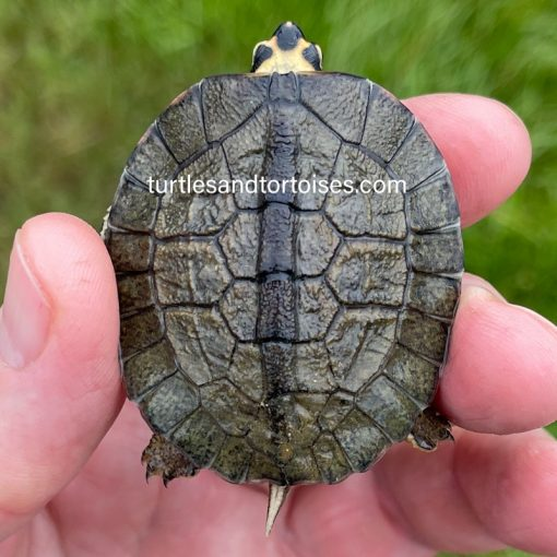 Maracaibo Wood Turtles (Rhinoclemmys diademata)