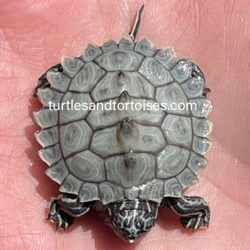 Southern Black Knobbed Map Turtles (Graptemys nigrinoda delticola)