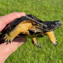 North American Wood Turtles (Glyptemys insculpta)