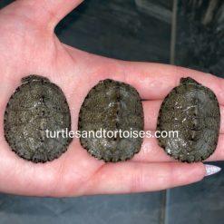 Serrated Sideneck Turtles (Pelusios sinuatus)