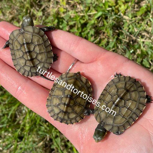 Chinese Yellow Pond Turtles (Mauremys mutica mutica)
