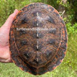 Cotinga River / Peter's Sideneck Turtles (Phrynops tuberosus)