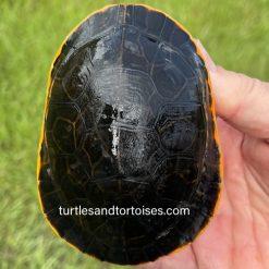 Florida Chicken Turtle (Deirochelys reticularia chrysea)